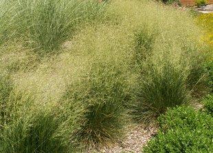 Дешампсия: трава для тенистых газонов
