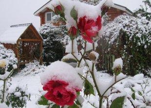 Как подготовить розы к зиме?