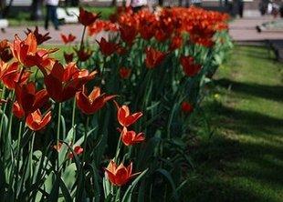 Рост и процветание - 10 тыс. деревьев и 1,6 млн. тюльпанов было посажено в Петербурге этой осенью!