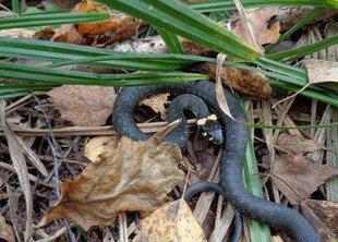 В лесопарках активизировались змеи